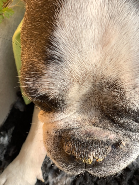 dry and cracked dog nose. 100% natural treatment with Olive Oil