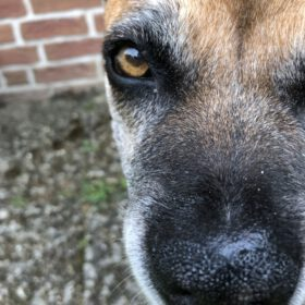 healthy wet dog nose. 100% natural Olive Oil Nosebalm